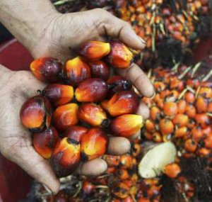 palm-fruit-indonesian-plantation-sumatra-reuters